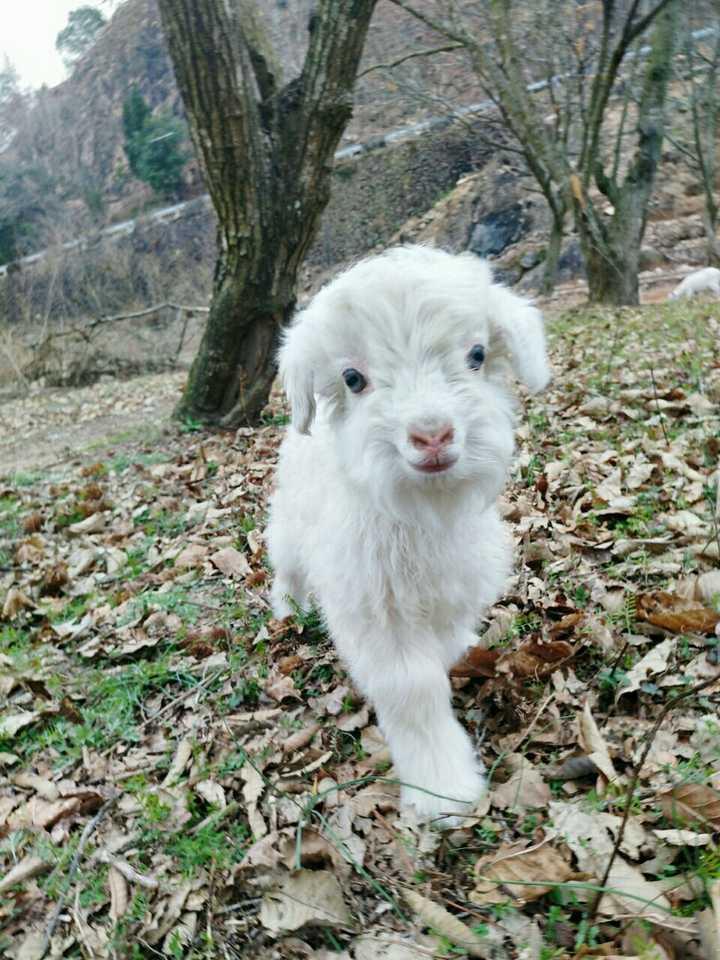 为什么羊没能成为人类的宠物?