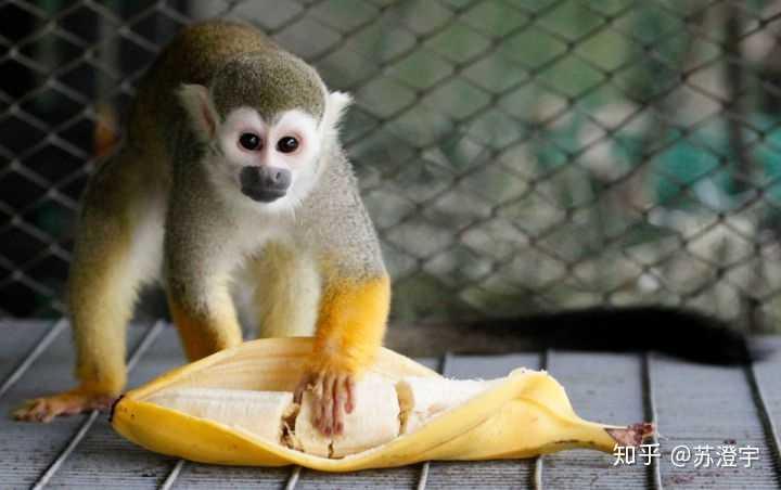 在动物园里的 猴子还是蛮喜欢吃人工培育的香蕉.