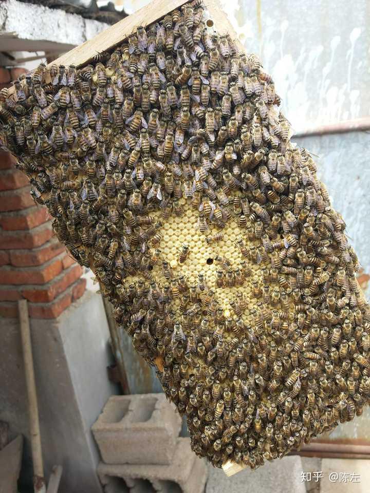 工蜂这是的封蜜蜂脾,里面是化蛹的盖子fakegps小蜜蜂图片