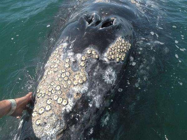 这是一个座头鲸身上的藤壶,比较严重了