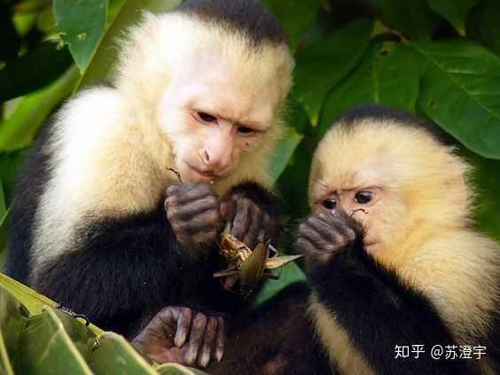 人为什么会长猴子_正是因为「好奇的乔治」影响力,以至于看过它的西方人都以为 猴子