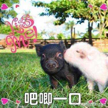 有哪些猪的搞笑图片或者表情?突羞表然情害包图片
