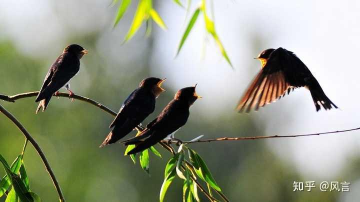 关于燕子的栖息,身在南方(江西),为什么几乎看不见停在树上休息?