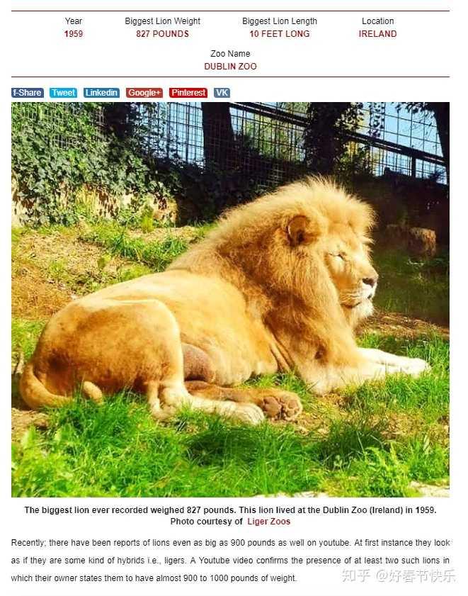 狮子真的如一些人说的打不过老虎?-知乎兔子的耳朵有一个翘不起来怎么办图片