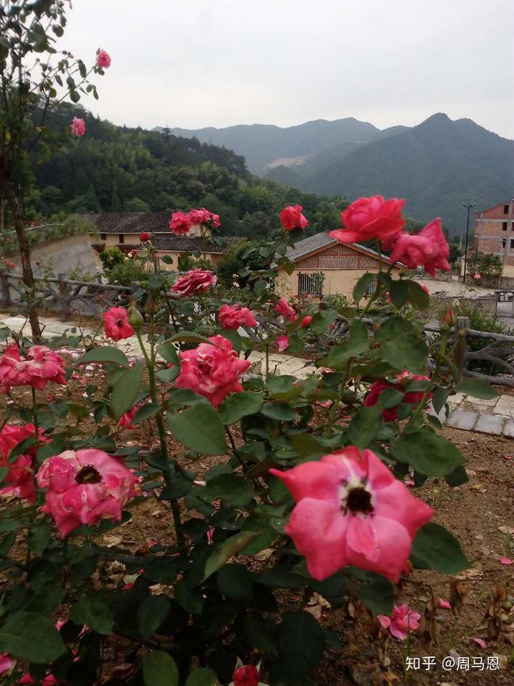 玫瑰小镇蓝羽土盆_云和:赤石积极打造\