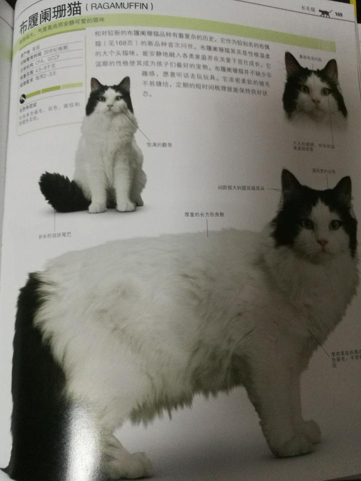 为什么养褴褛猫的人这么少?