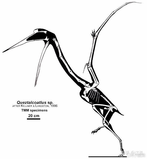 图注:风神翼龙的骨骼其实很细而且轻,图片来自网络