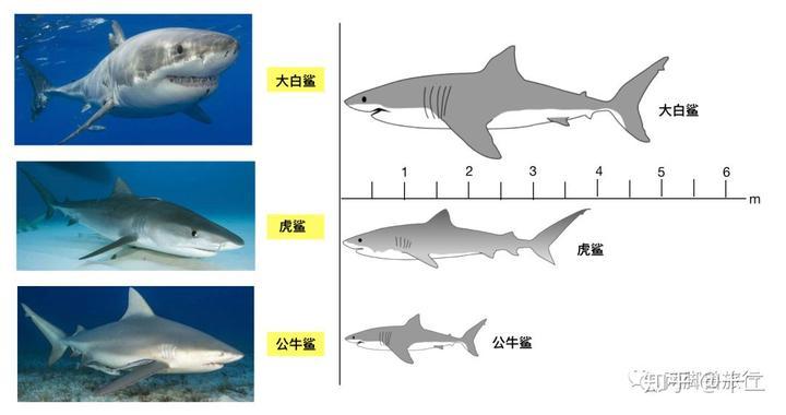 以下依此是大白鲨,虎鲨,公牛鲨,仰望看它们的脸,真是一个比一个凶巴巴