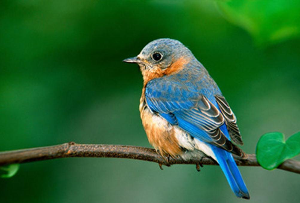 鸟为什么会唱歌呢?因为它们喉咙和你不一样!是裂开的!