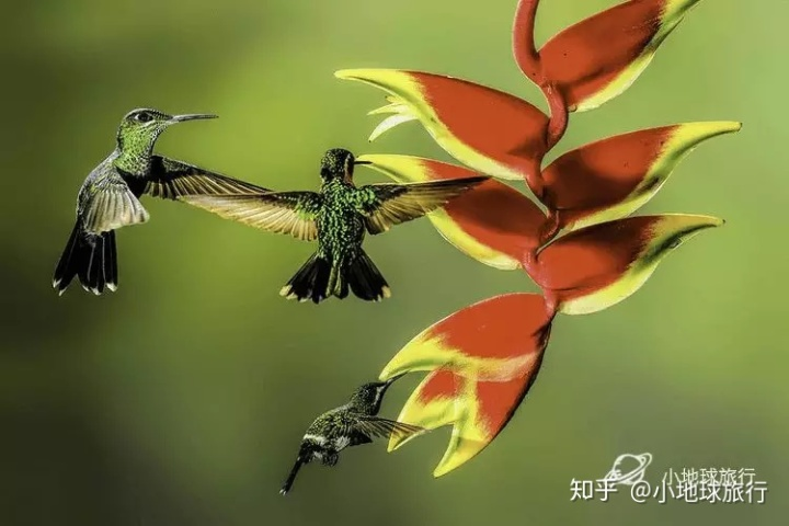 而蜂鸟中体型最大的是巨蜂鸟(学名:patagona gigas),其体重也仅20克.