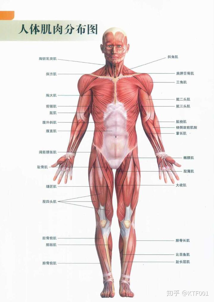 人体肌肉分布图_人体肌肉分布图与颈部肌肉解剖图