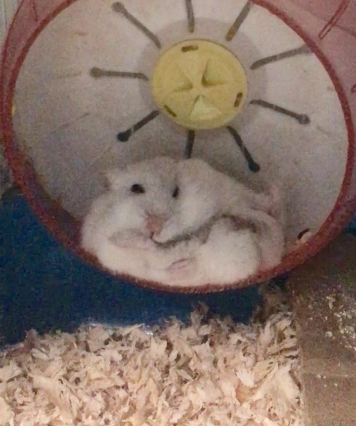 仓鼠有多可爱?谜之芬蜗牛面霜真假图片