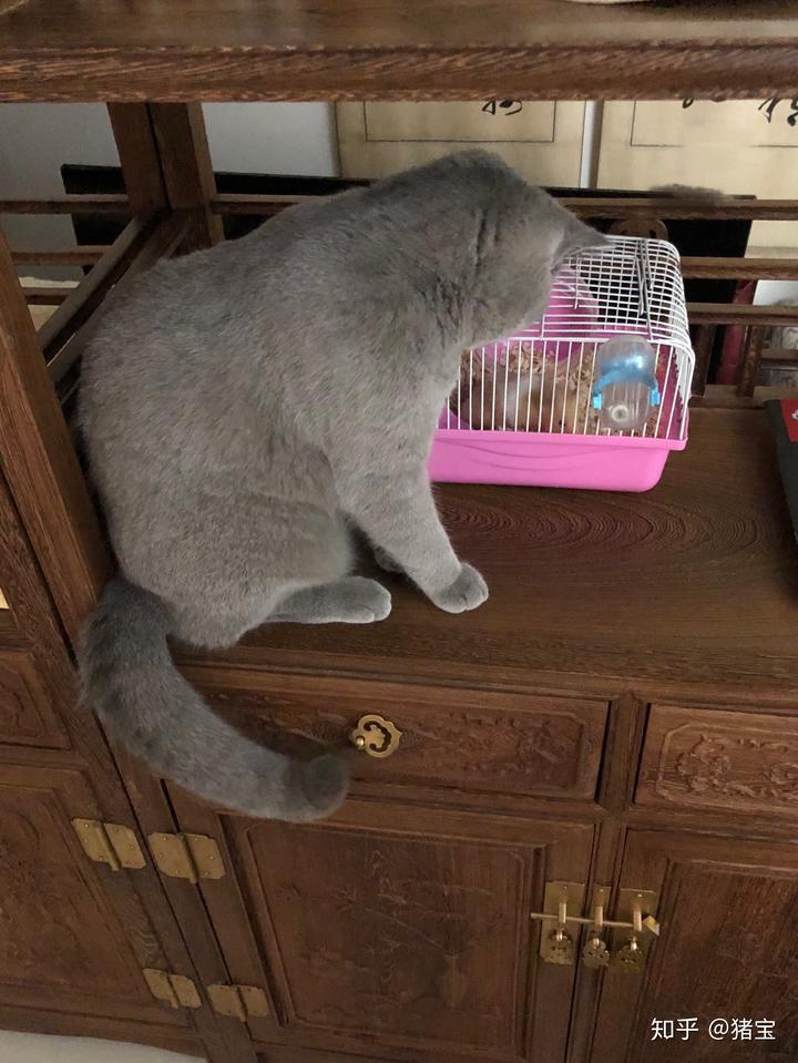 仓鼠窝_猫猫会很好奇的去仓鼠窝跟前和它玩