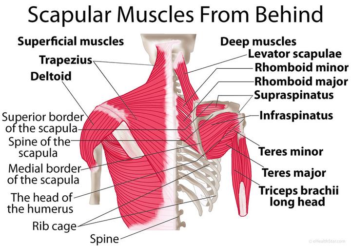 为四肢动作建立支点; 肩关节则需要更加灵活,方便手臂完成各种各样的