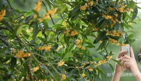 图为桂花树在园林景观中的应用