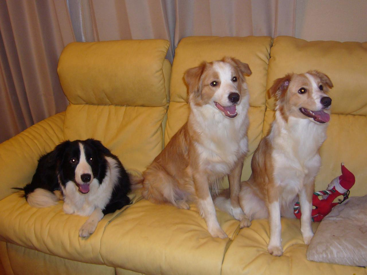 犬类如边牧、金毛、哈士奇、萨摩耶、比熊、大白熊、柯基犬,哪种相对好养? - 知乎