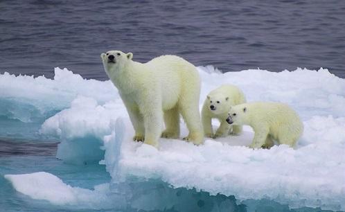 冬眠 动物_最大的呆萌动物-北极熊 - 知乎