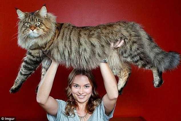 缅因猫最大可以长多大?