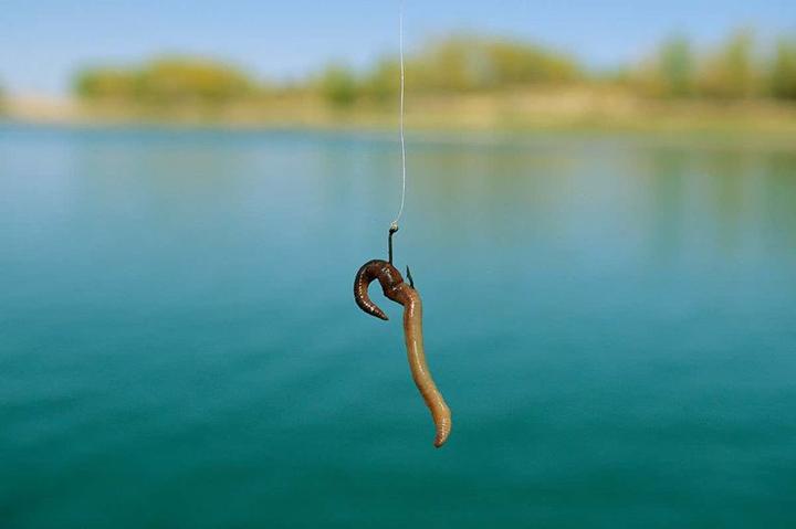 为什么鱼喜欢吃蚯蚓?