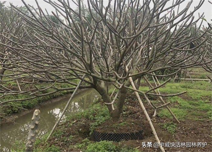 浇了生根粉第二天可以浇水吗(大树移栽生根粉浇多了会烧根吗)