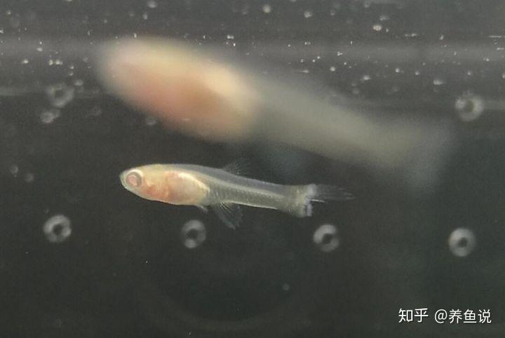 孔雀鱼为什么吃小鱼?它们是真的无情,正确饲养方法是公母鱼分养(图2)
