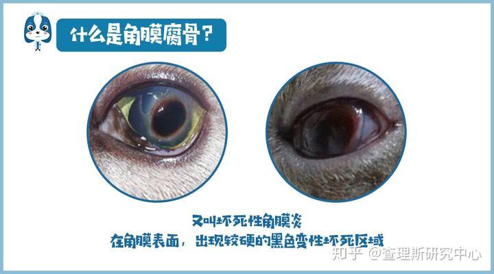 猫咪角膜腐骨(坏死性角膜炎)是什么病?怎么治疗啊?(图5)
