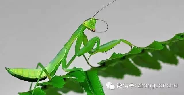 花噬虫_(转载)10种螳螂伪装高手,尤其第5种吓着我了 - 知乎