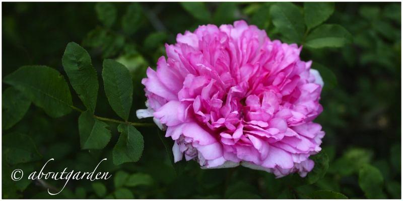 【花名册】送春归,十六夜蔷薇