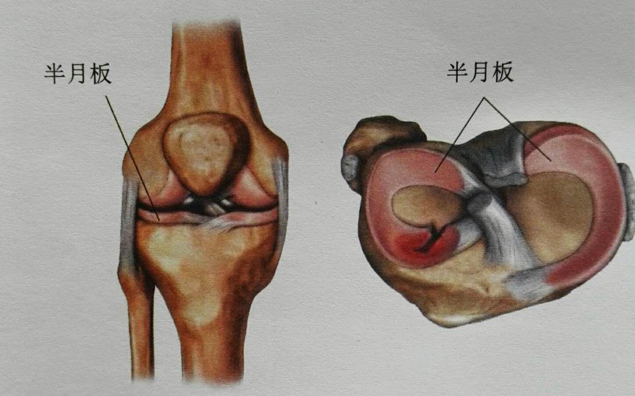 肌肉由什么组成_膝盖有什么好的保养和恢复方法? - 知乎