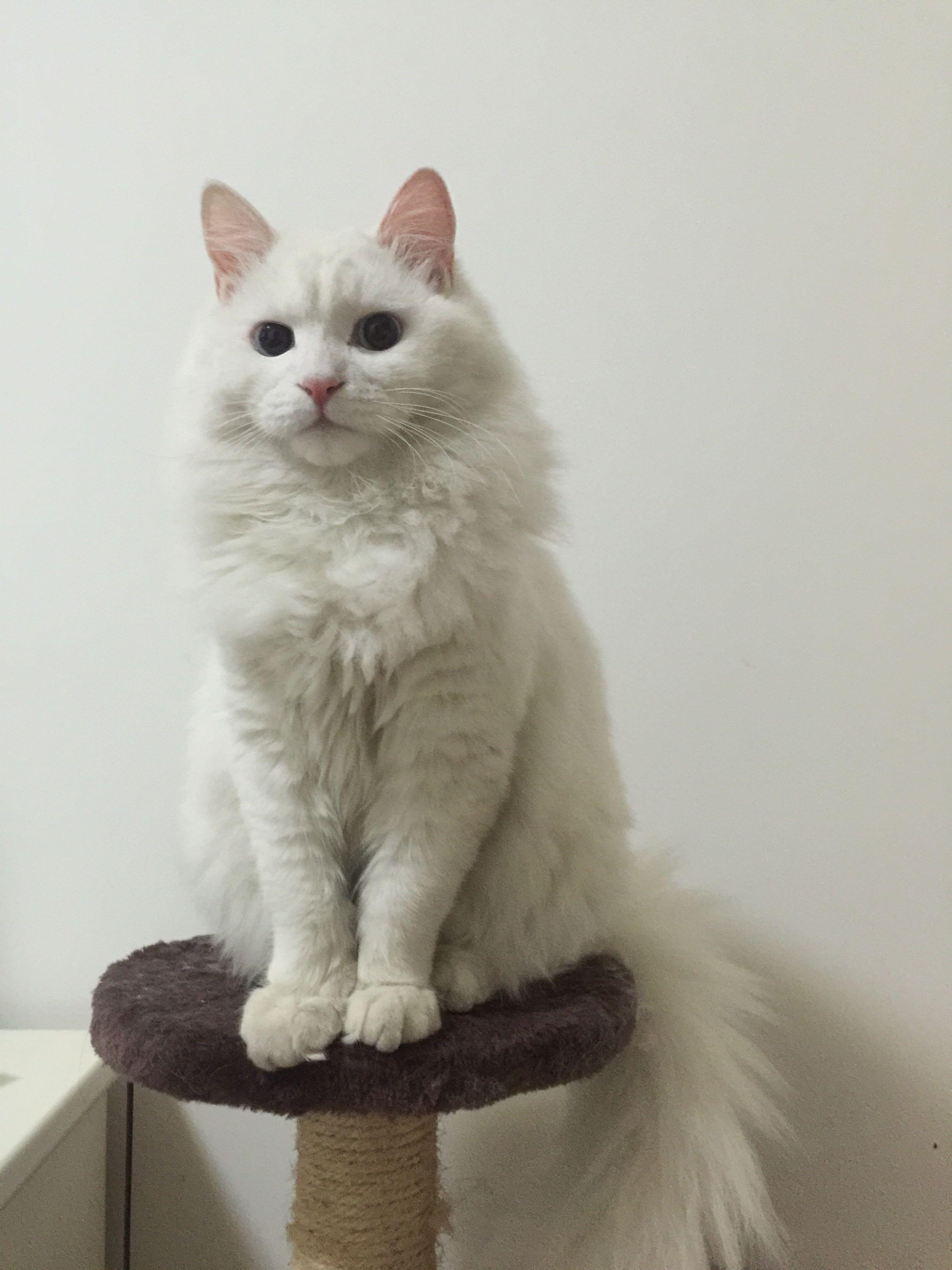 这是山东狮子猫嘛? ?