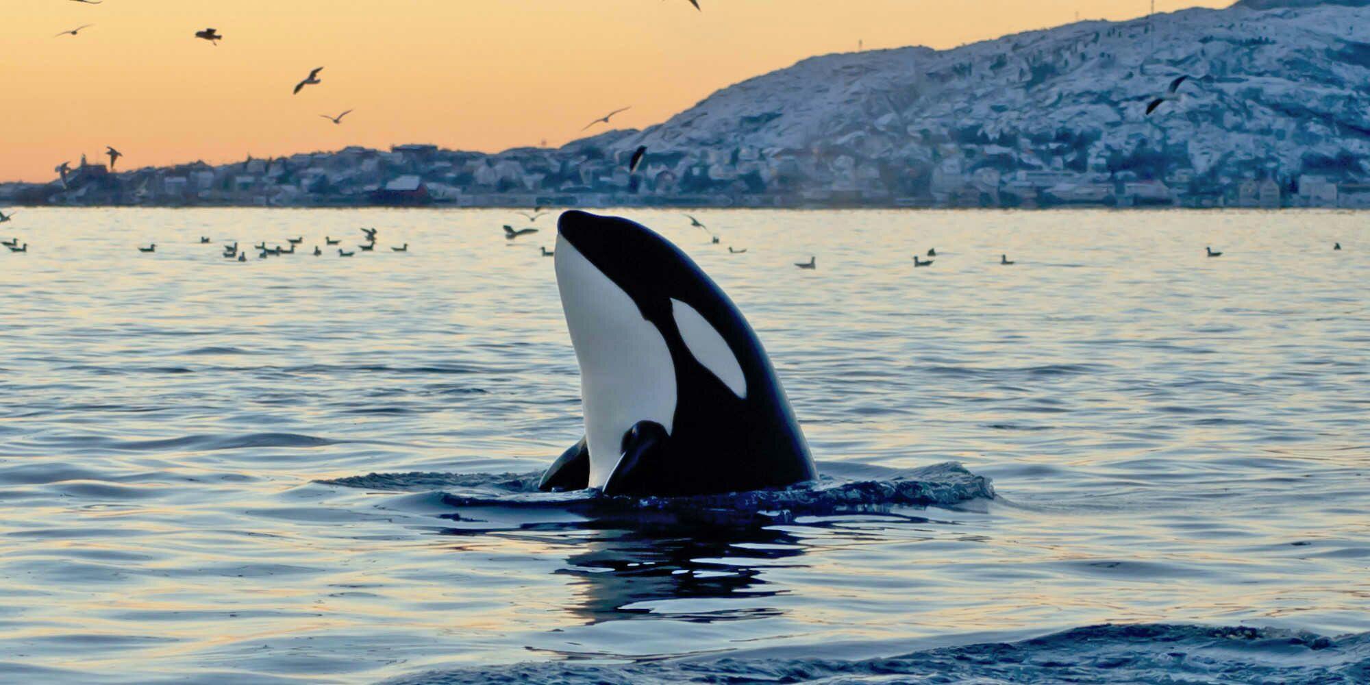 有什么好看的虎鲸图片?