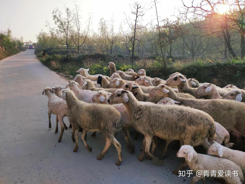 梦见好多小羊羔 女人梦见好多小羊羔