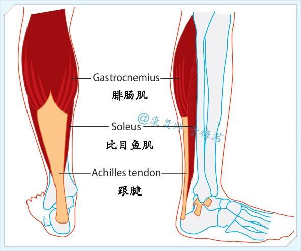 小腿三头肌_减掉小腿赘肉的终极秘籍--要从这4个层面考虑瘦腿 - 知乎