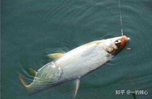 鲴鱼的钓法_夏天黄尾鲴鱼这么钓,才能提高正口中鱼率 - 知乎