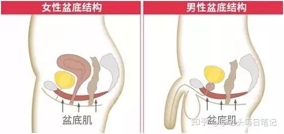 增加性生活时长锻炼,PC肌提肛运动(凯格尔运动)