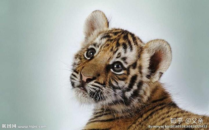 你是不是虎_你要是还是觉得可以干过老虎.