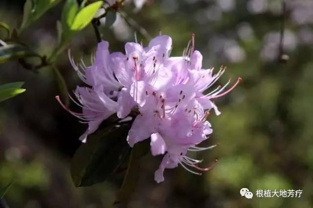 董�:$h�ia�`a�+�_rhododendron griffithianum wigh