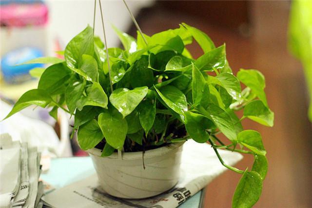 水培绿萝烂根是什么原因图片