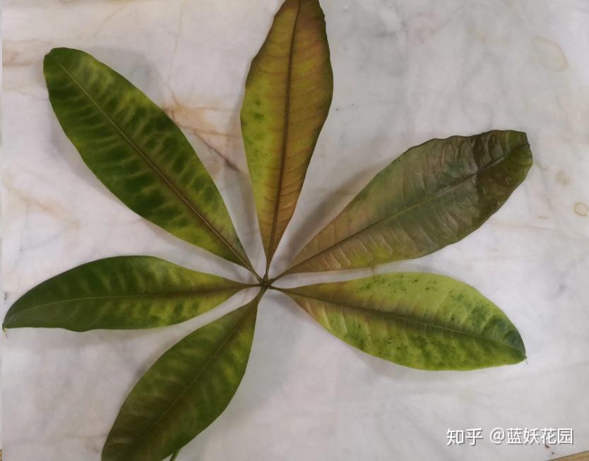 金钱树叶子发黄怎么处理最有效图片