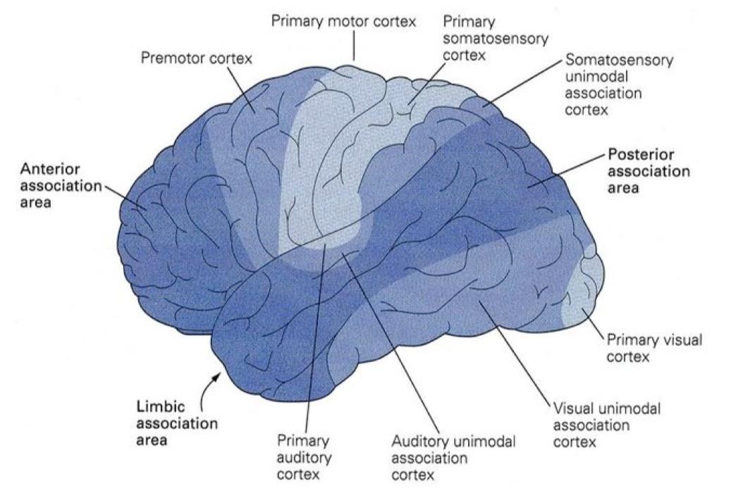 """""""我眼中的世界"""":联合皮层区的认知加工"""