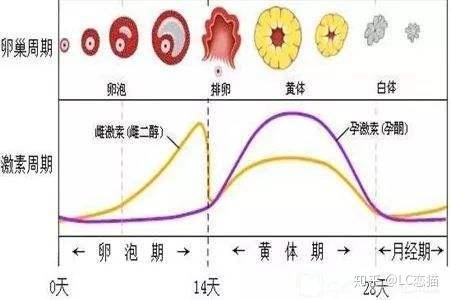 黄体 期 妊娠