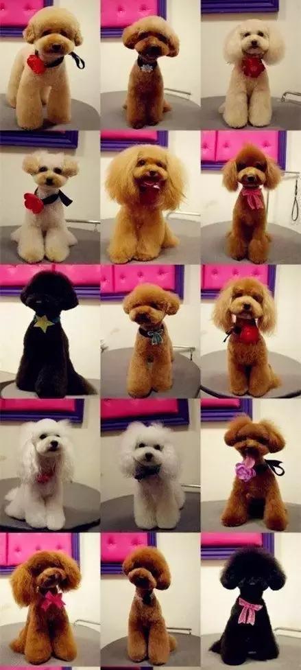 贵宾犬和泰迪的区别1
