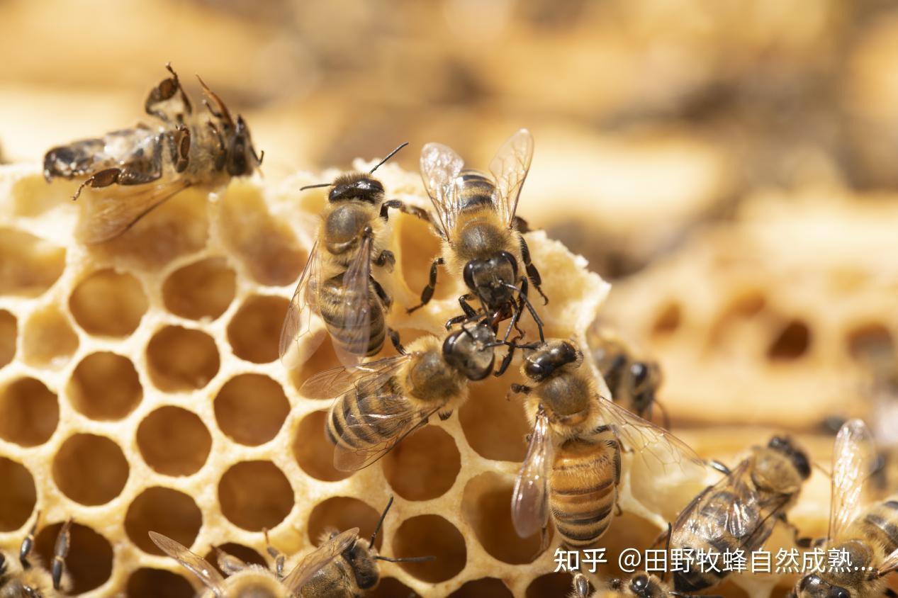 蜂窝中的蜂蜡可以吗?吃蜂窝蜂蜜的好处是什么?