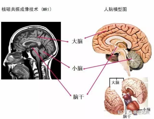 植物的系统层次_解剖   最全神经系统解剖图来了,每个医生都该看看 - 知乎