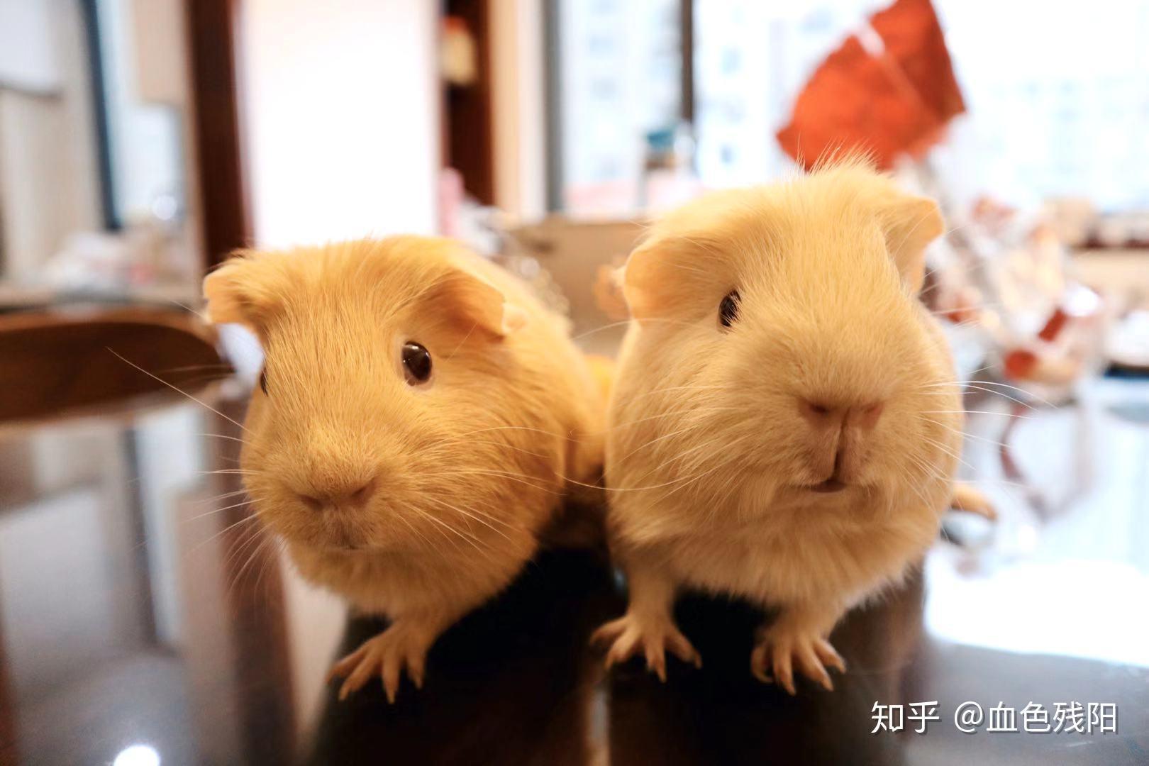 荷兰猪是老鼠吗 荷兰猪咬人用打疫苗吗