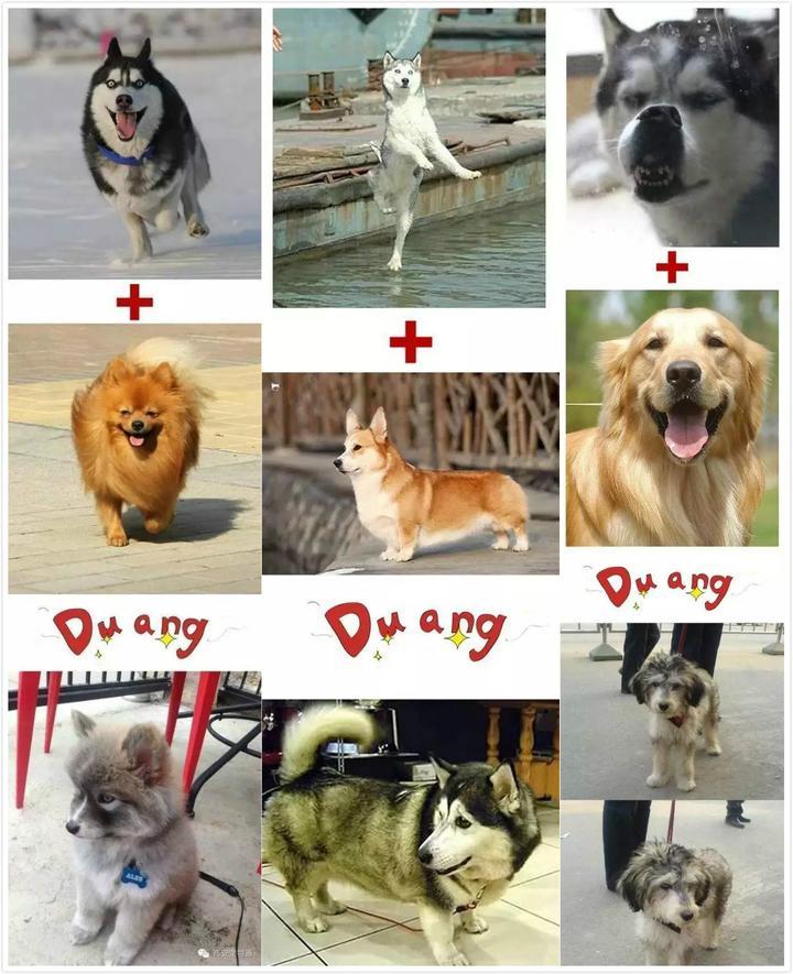少妇乱伦和狗_【dogtalk-16-】乱伦还是科学? 谈谈纯种犬繁殖那些事