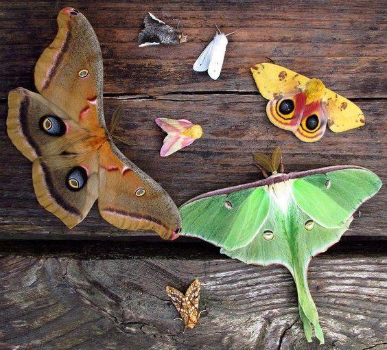 像花火像蝴蝶电影_有哪些像蝴蝶一样好看的蛾子? - 知乎