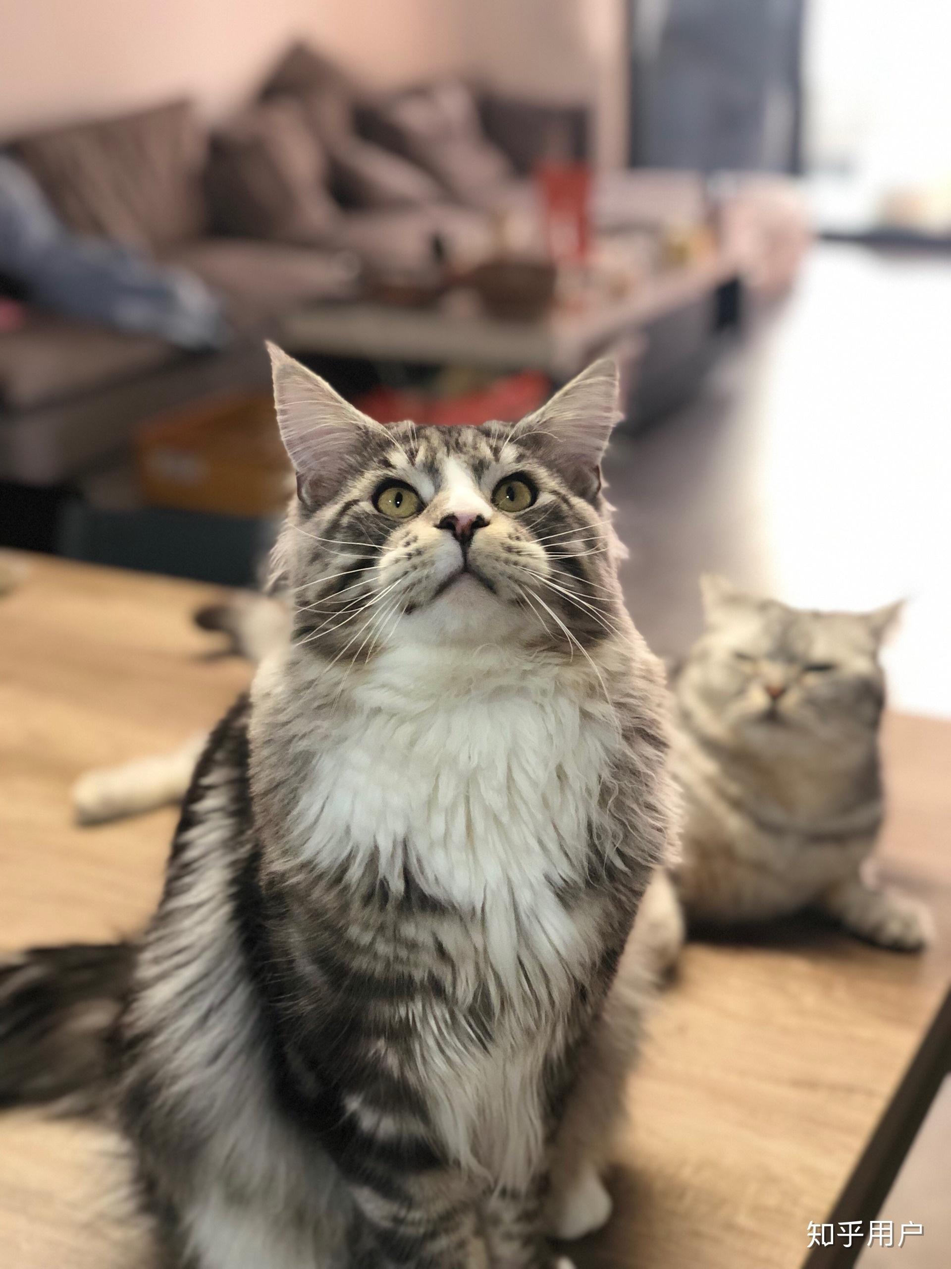 宠物图片_养缅因猫是一种怎样的体验? - 知乎