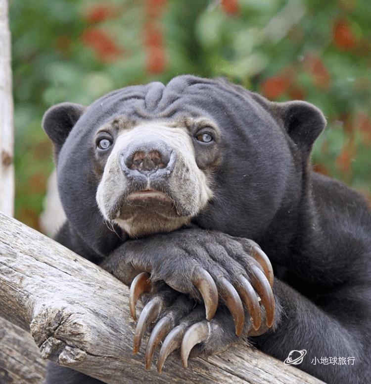伟叫兽_被评为世界上最不可爱的熊,论马来熊的心理阴影 | sunbear ...