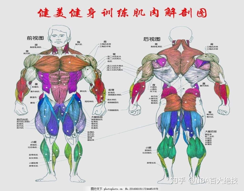背部肌肉分布_运球一开始不熟练,是应该大力运球,还是先熟悉动作?-知乎